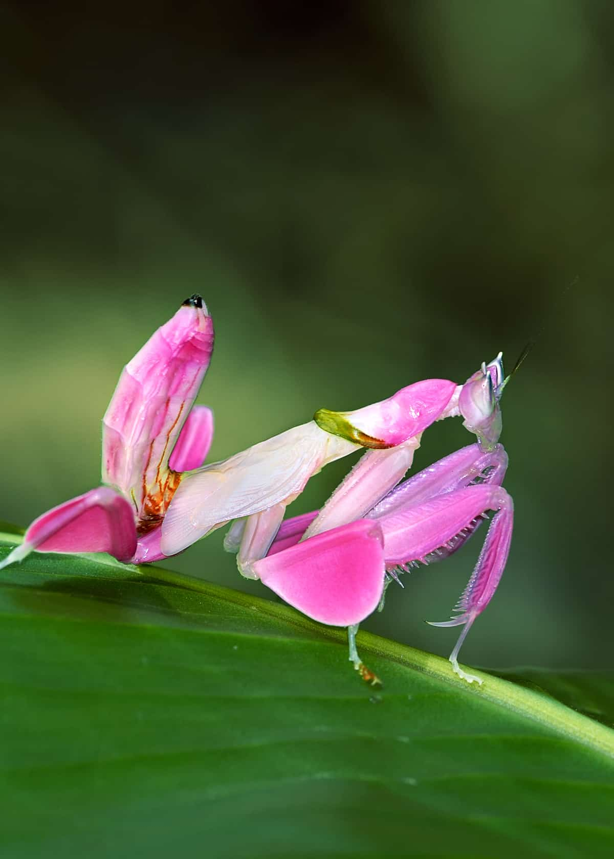 35 Orchid Mantis Facts Bloodthirsty Living Flowers Hymenopus