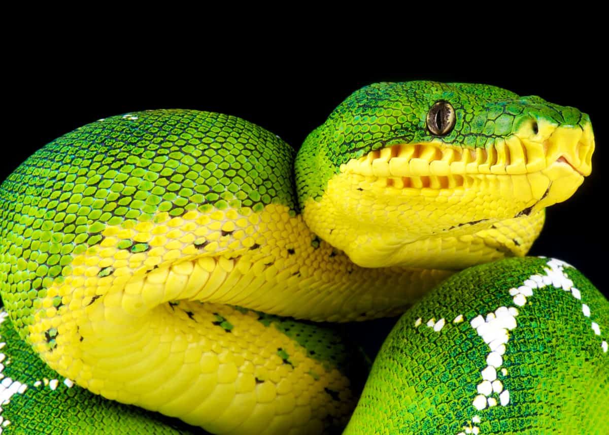 46 Emerald Tree Boa Facts Both Species Guide Jewel Of The Amazon Everywhere Wild